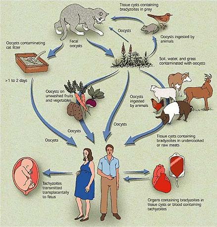 Life Cycle of Toxoplasma (Fuente: Marcia Hartsock)