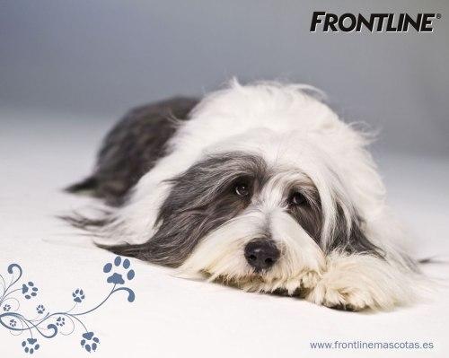 frontline perro