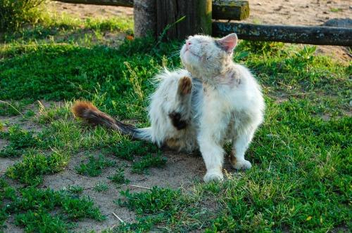 gato prurito