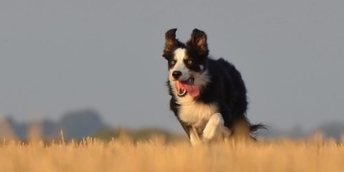 border-collie corriendo