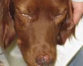 Leishmaniose-Hund